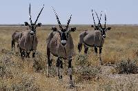 Image of Oryx gazella
